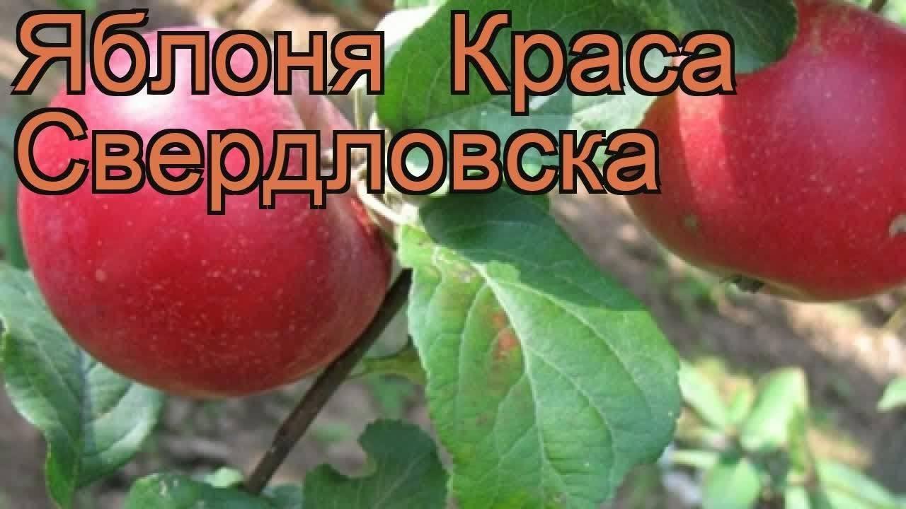 Яблоня краса свердловска описание сорта фото отзывы