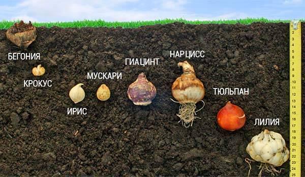 Когда следует выкапывать и высаживать луковицы крокусов