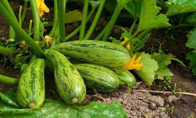Посадка кабачков семенами в открытый грунт и на рассаду: выращивание и уход