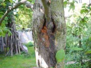 Как заделать дупло в яблоне