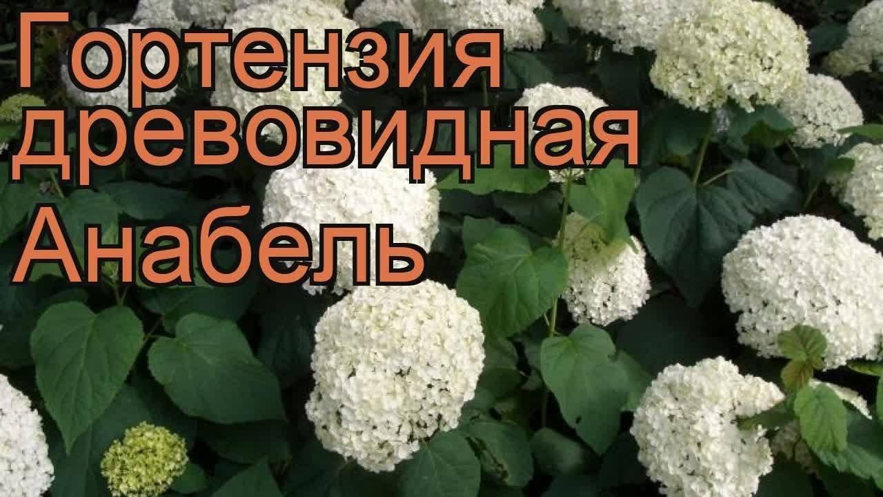 Сорт гортензии древовидной – анабель