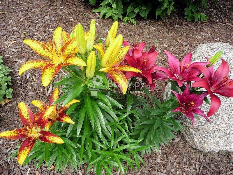 Лилии в кашпо и горшке: от посадки до цветения с фото и видео