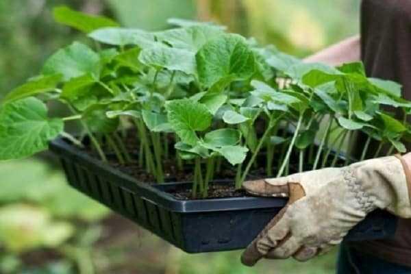 Выращиваем крепкую рассаду огурцов – план действий от посева семян до высадки в грунт