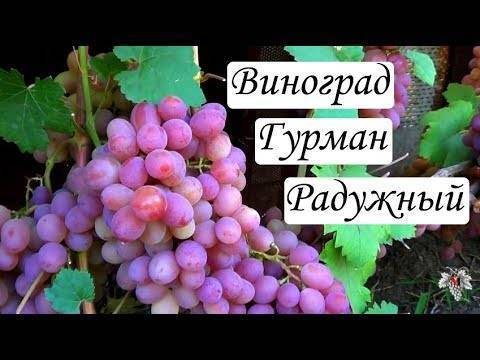 Великолепный гибридный сорт винограда гурман: описание и особенности выращивания