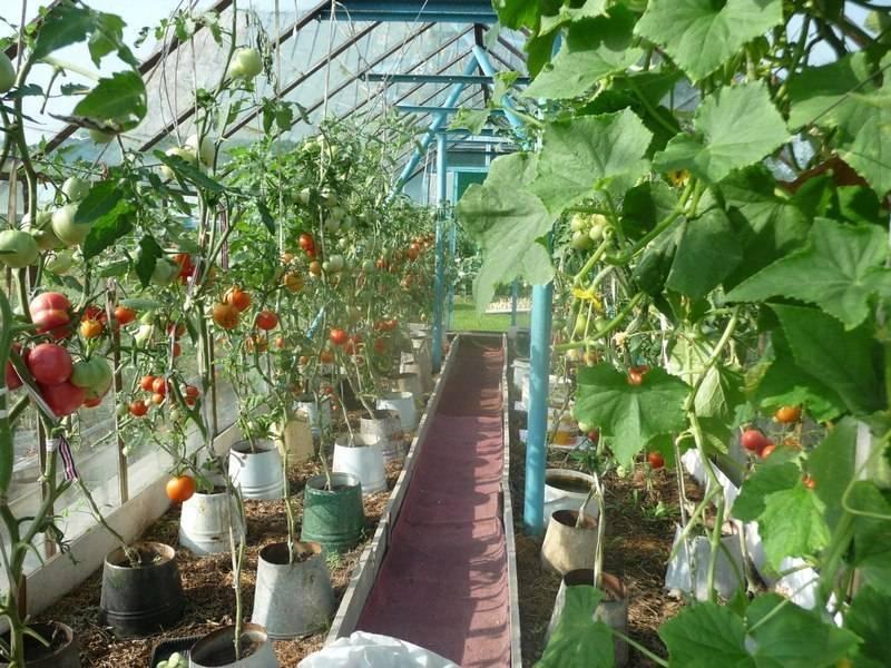 Выращивание огурцов в ведрах – 9 особенностей и 9 советов по посадке