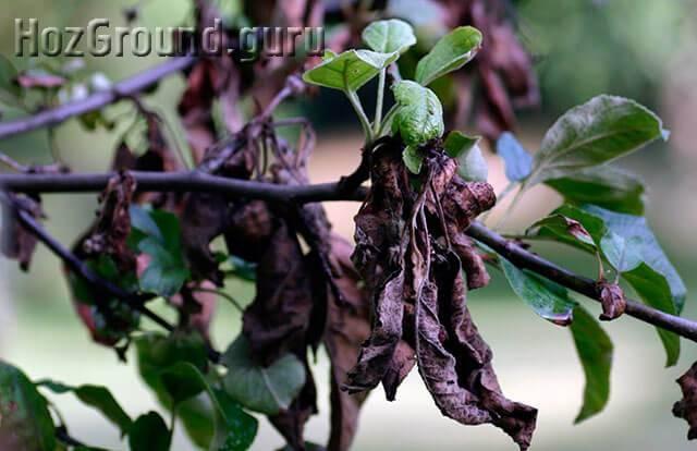 Что делать, если на груше почернели и свернулись листья: способы лечения
