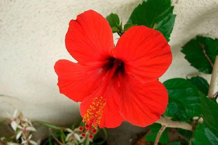Гибискус — цветок смерти: почему нельзя держать дома китайскую розу