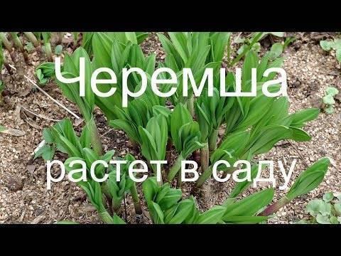 Как вырастить черемшу на даче - статьи - сибирская черемша. луковицы, семена, выращивание