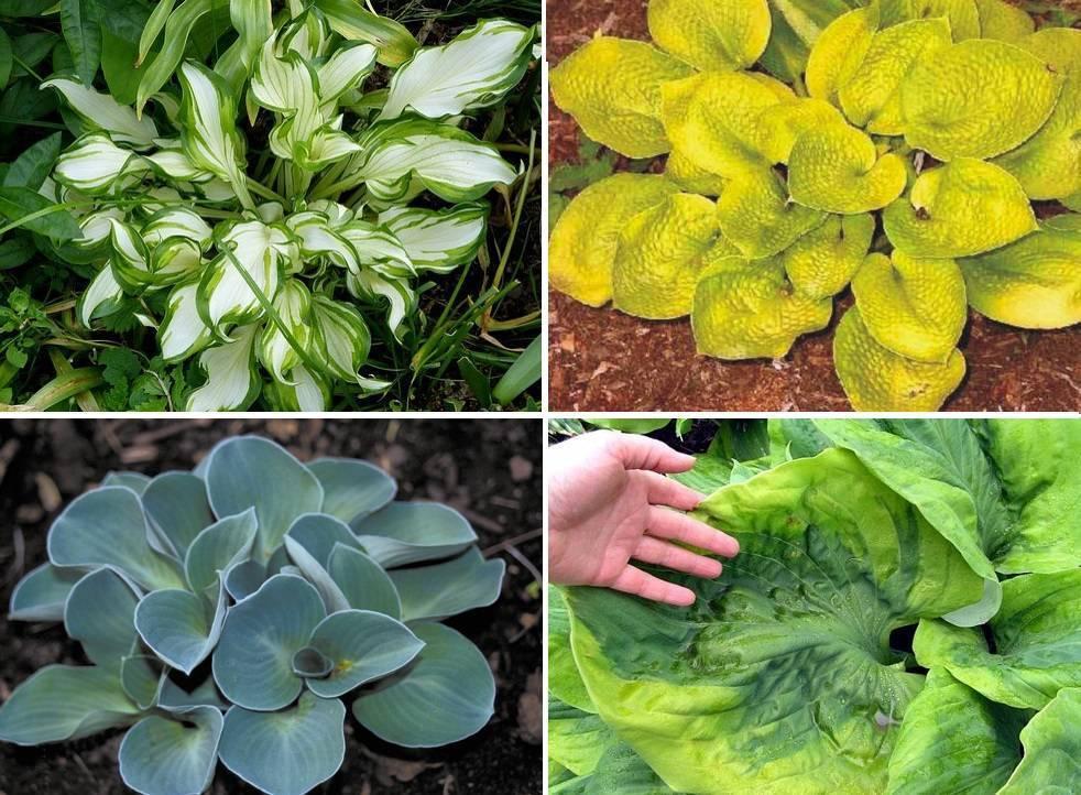 Белая хоста (32 фото): посадка и уход в открытом грунте в саду. описание сортов. почему зеленеет?
