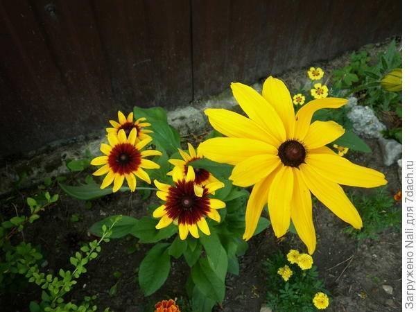 Сорта рудбекии многолетней: 4 вида и применение в ландшафтном дизайне