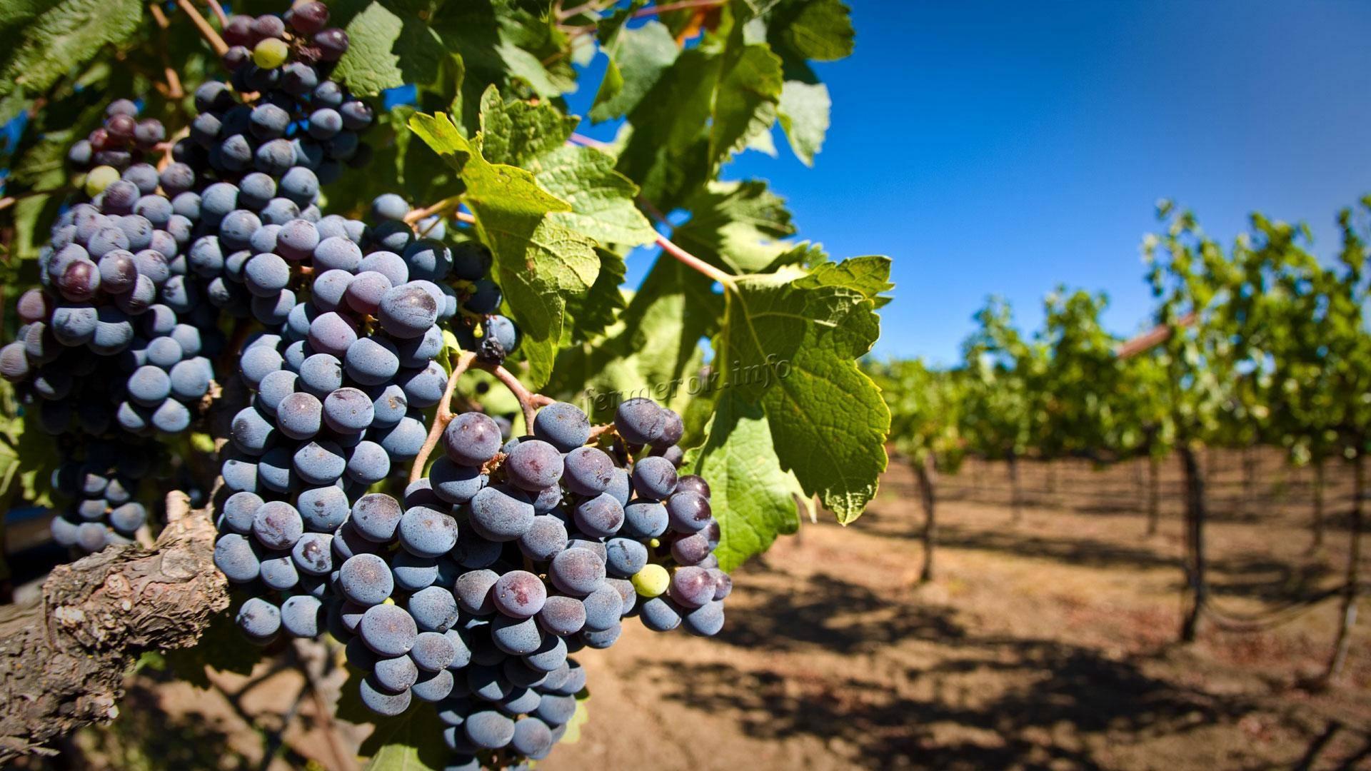 Удобрение винограда. способы внесения удобрений