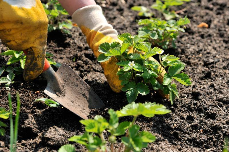 Посадка клубники осенью и как пересаживать клубнику на новое место