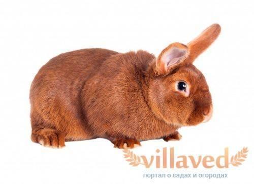 Характеристика белого и красного новозеландских кроликов
