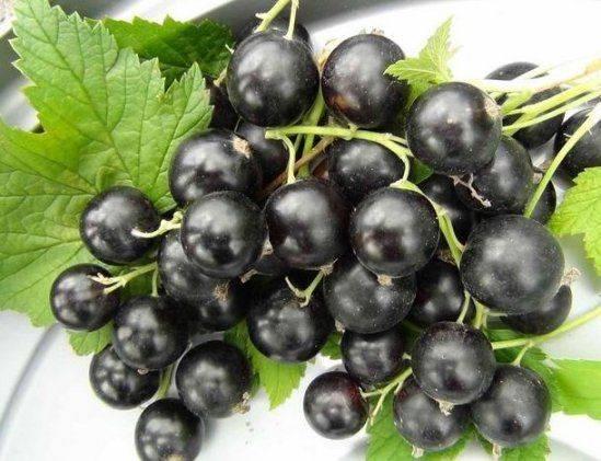 Вредители смородины и крыжовника – фото, описание, чем обработать кусты