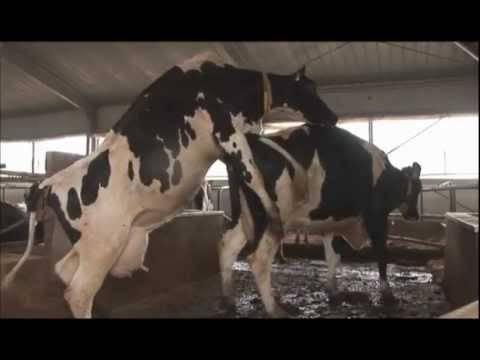 Осеменение коров — современные методы разведения поголовья скота, особенности и рекомендации