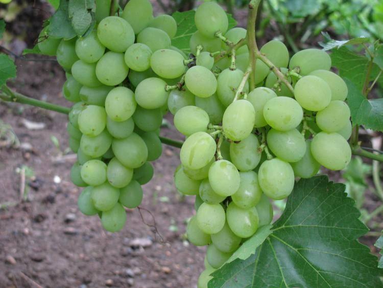Виноград кеша: описание сорта, посадка и уход