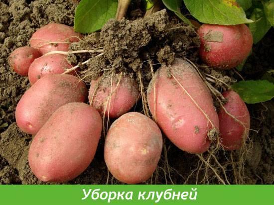 Когда и как правильно копать картошку?