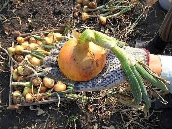 Когда и как сажать лук-севок в открытый грунт весной 2020