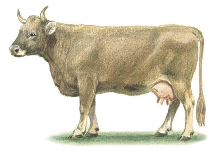Швицкая порода коров: описание, характеристика, плюсы и минусы