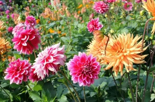 Чем подкормить георгины для обильного цветения