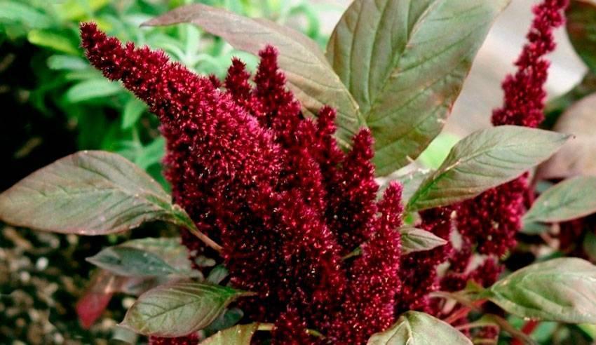 Амарант: фото и виды, посадка и уход за растением