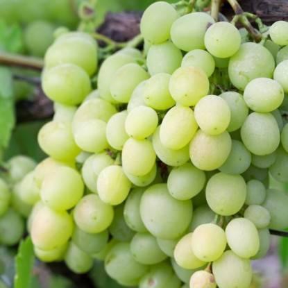 Виноград кеша: описание сорта, фото, характеристики гибридов