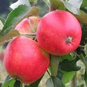 Интересное о яблоне конфетное. описание и фото