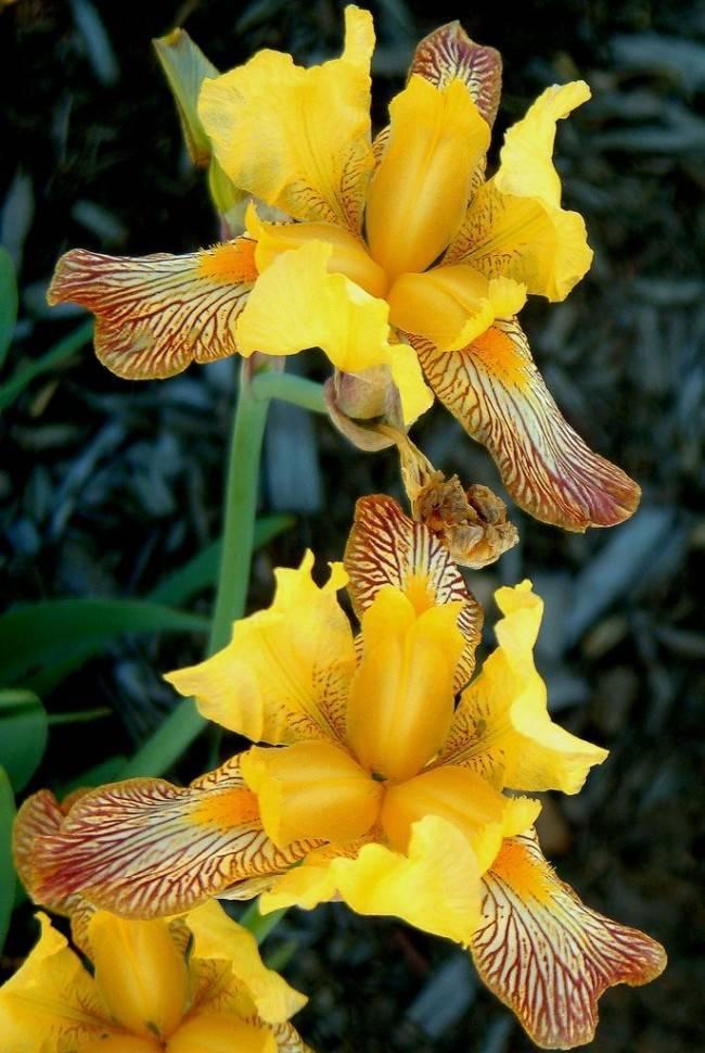 Ирисы: фото цветов, описание растения, виды и сорта цветов ирисов