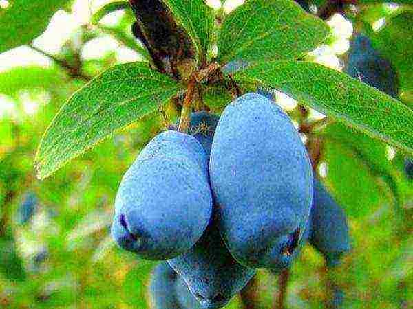 Самые сладкие сорта крупноплодной жимолости