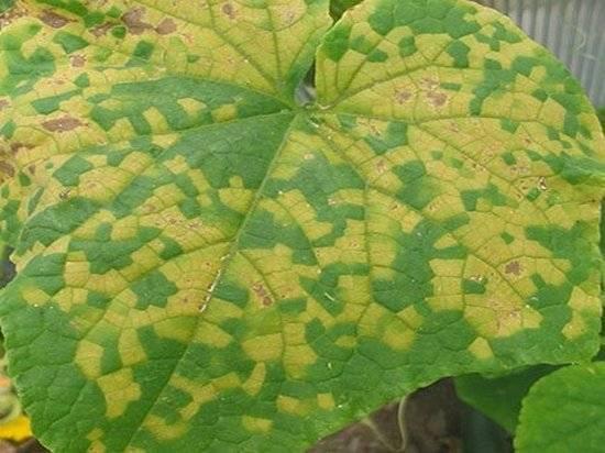 7 основных причин почему у огурцов желтеют листья и советы как исправить ситуацию