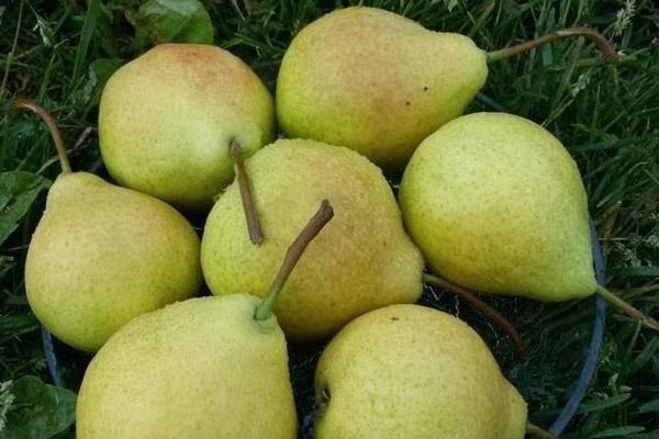 Описание высокоурожайного сорта груши августовская роса