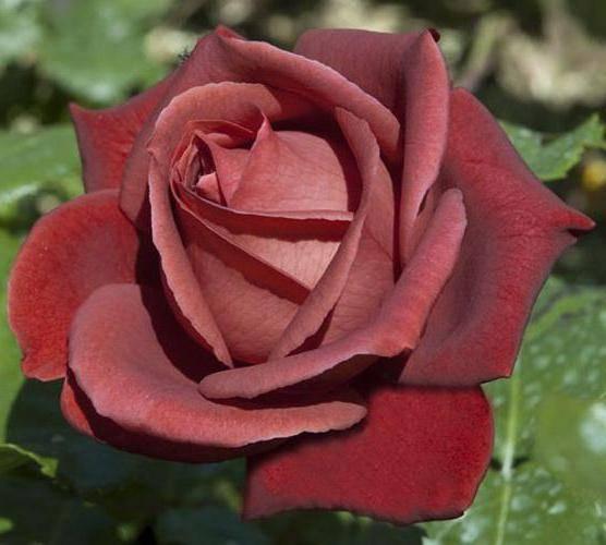 Мечта садовода - роза терракота