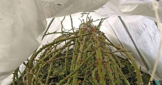 Посадка чеснока под зиму – все тонкости посадки зубками