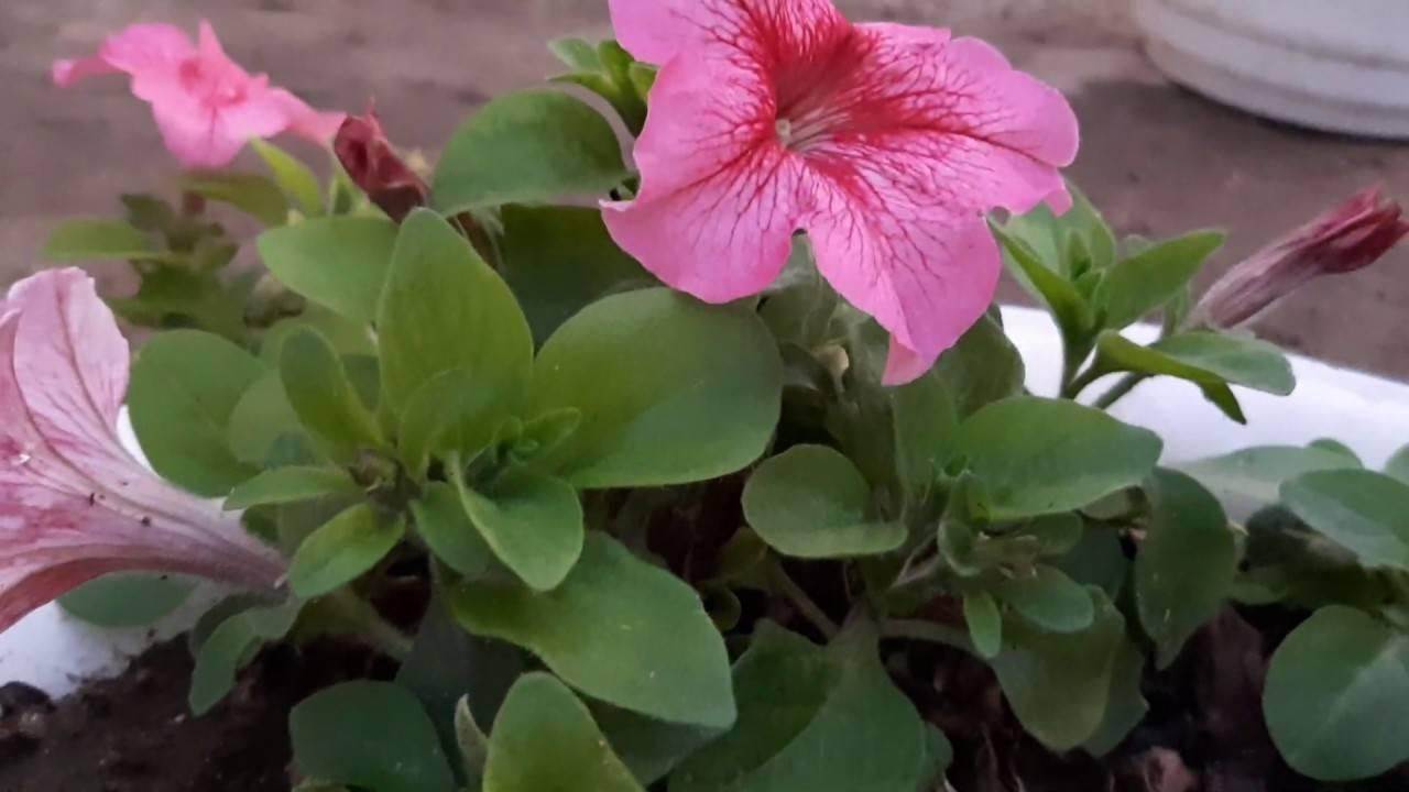 О способах сбора и хранения семян петунии: где находятся семена у растения