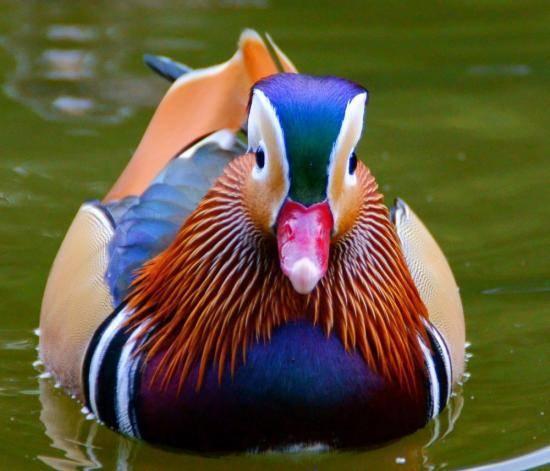 Утка мандаринка – интересные факты