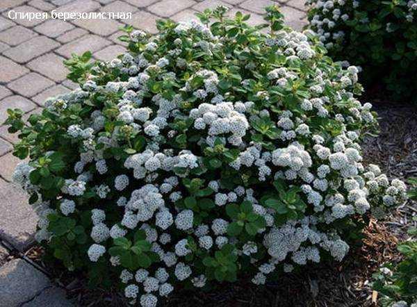 Топ-7 самых морозостойких цветущих кустарников (с фото)