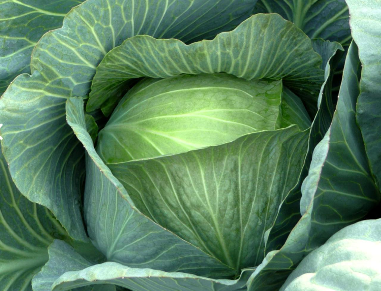 Капуста тобия: особенности и характеристика сорта, выращивание и уход