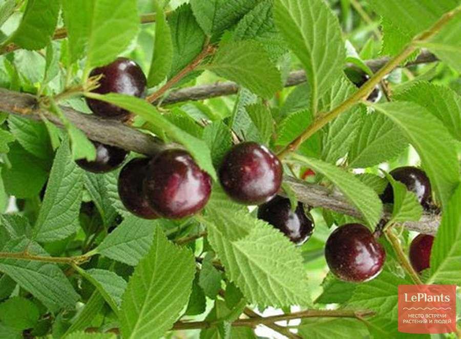 Войлочная вишня – как правильно посадить, ухаживать и размножить, возможные заболевания и вредители
