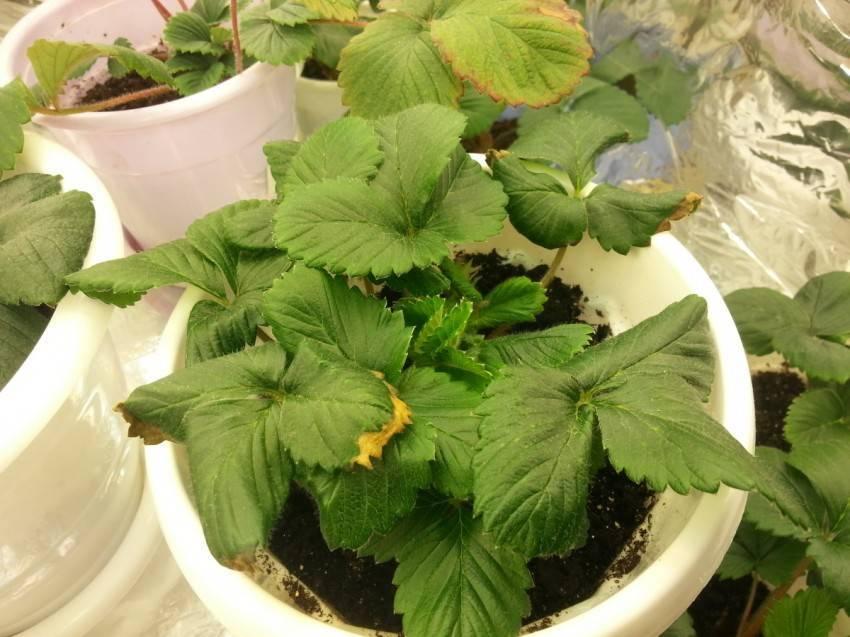 Почему сохнут листья клубники?