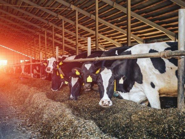 Породы коров (78 фото): характеристика черно-пестрой и белой, рыжей и костромской пород, шароле и шведской, монбельярд и галловейской