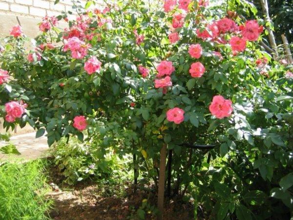 Почему роза превращается в шиповник: что делать при этом? советы садоводов, как ухаживать за розами. как отличить розу от шиповника по листьям и побегам роза дала побег шиповника что делать