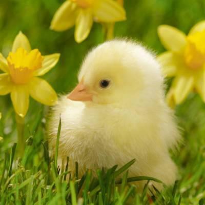 Развитие цыпленка в яйце по дням