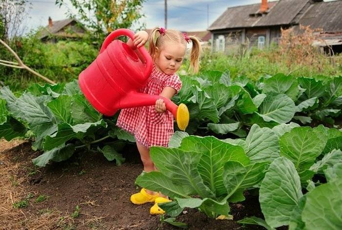 Как поливать капусту осенью. как часто нужно поливать капусту в открытом грунте и какой водой