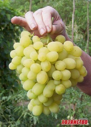 Сорта винограда - самые лучшие сорта для домашнего выращивания