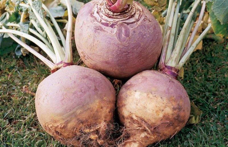 Выращиванию брюквы из семян: сорта брюквы, посадка и уход