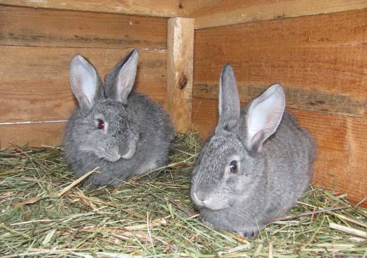 Кролики «советская шиншилла»