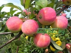 Сорт яблони малиновка – описание, фото
