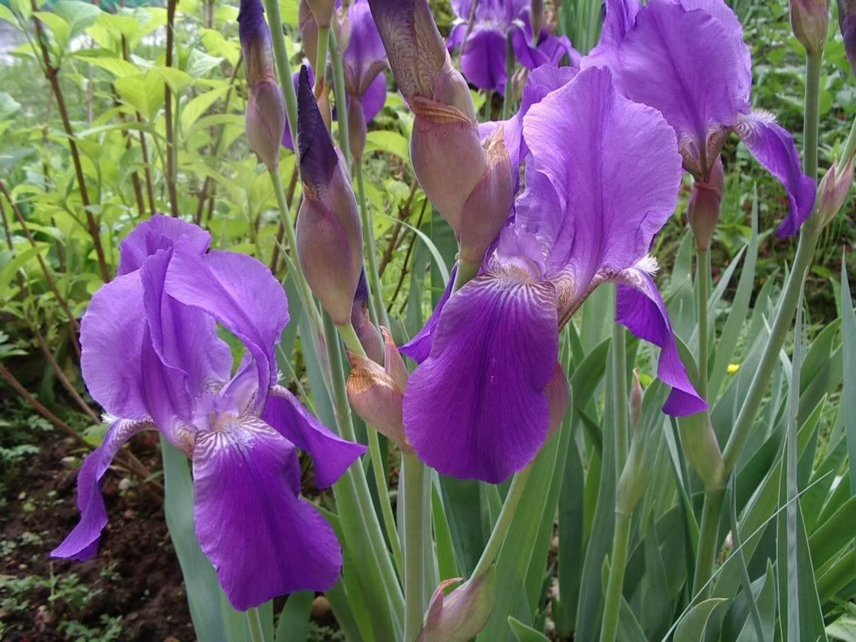 Выращивание и уход за ирисами после цветения