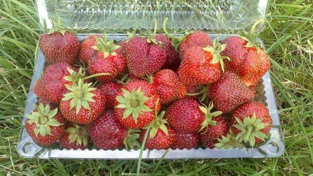 Клубника машенька — 115 фото и описание сорта. нюансы выращивания и отзывы садоводов по уходу