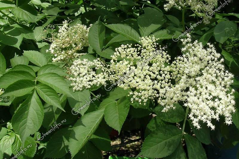 Бузина травянистая.лечебные свойства, применение | лечение травами - народные средства